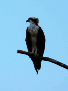 Osprey (3er Día)