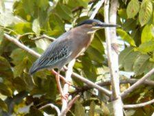 Avistamiento de aves CG Panamá