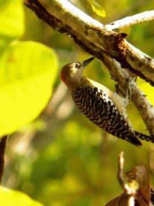 Avistamiento Aves (Carpintero)