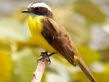 Avistamiento Aves (Reinita)