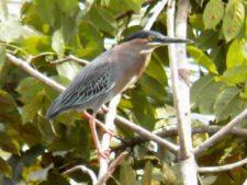 Avistamiento Aves CG Panamá