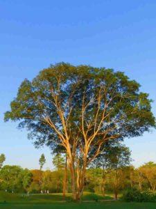 Árbol Cancha CG Panamá