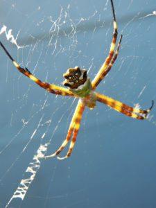 Araña de Palmera