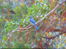 Bluy Jay