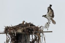 Osprey (Pandion haliaetus) at Chambers Creek Properties (cortesía Jason Taylor)