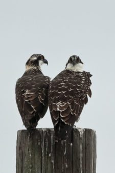 Ospreys (Pandion haliaetus) at Chambers Creek Properties (cortesía Jason Taylor)