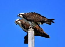 Pareja de Ospreys se preparan al US Open