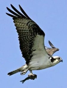 Watching osprey catch fish from the middle of their hunting ground is spectacular (cortesía www.seattletimes.com)