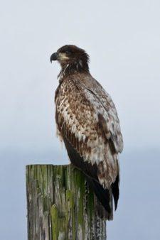 Águila Calva (Haliaeetus leucocephalus) (cortesía Jason Taylor)