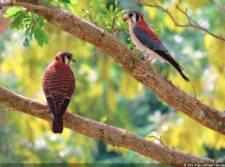Pareja de Aves locales (cortesía Fairway)