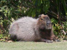 Capibara (cortesía geoffshackelford.com)