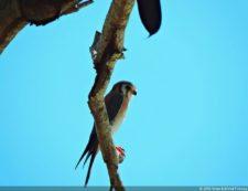La cola larga les ayuda a alcanzar velocidad en los vuelos picados