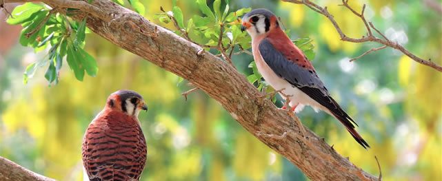 El poderoso vuelo del Cernícalo de América (Falco sparverius)