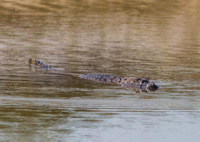 Un Caiman el el lago del hoyo 11 (cortesía Tristan Jones/IGF)