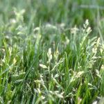 Datos sobre la floración de Poa annua
