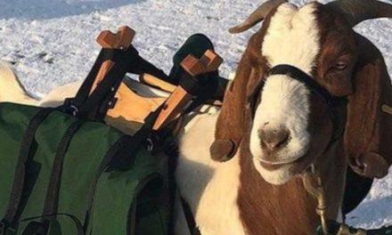 Nuevo campo de golf ubicado en Oregon utilizará cabras como caddies a contar de julio