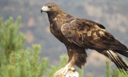 """Entre Cielo y Tierra: """"El Águila real y el Cóndor de Los Andes en Los Andes de Mérida, Venezuela"""""""