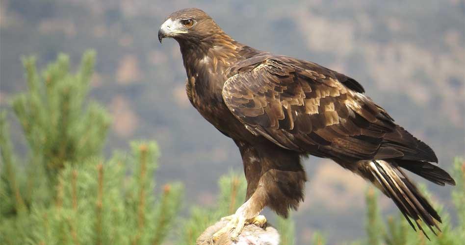 Resultado de imagen para Aguila real