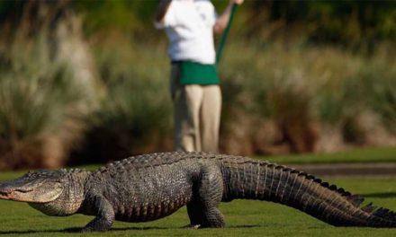 En imágenes: cocodrilos, protagonistas de las últimas semanas del PGA Tour