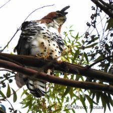 Aguila Penacho