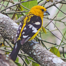 Picogordo Amarillo