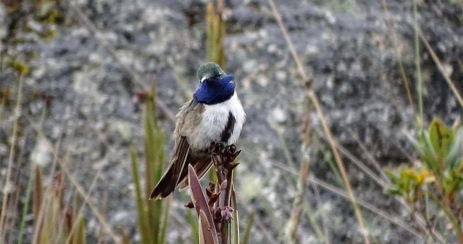 """Nueva especie de colibrí """"Cuello Azul"""" en peligro de extinción"""